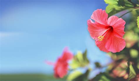 Hibiscus Flower Backgrounds by Hibiscus Backgrounds Wallpaper Cave