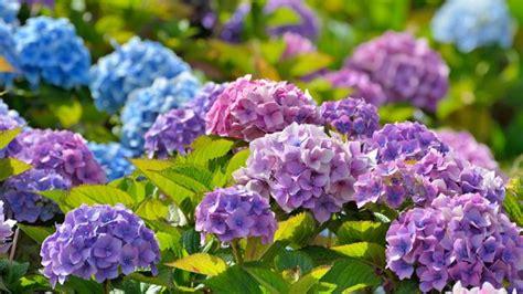 welche blumen blühen im juni hortensien pflanzen schneiden vermehren 252 berwintern sat 1