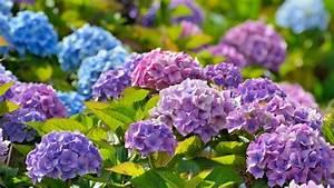 Hortensien Pflege Balkon : hortensien pflanzen schneiden vermehren berwintern ~ Lizthompson.info Haus und Dekorationen