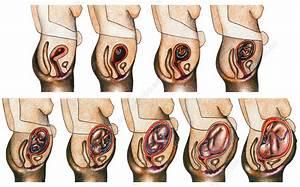 Fetal Development - Stock Image C012  3776
