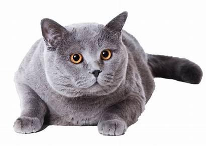 Cat British Shorthair Fat Clipart Transparent