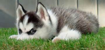 siberian huskies all you need captured in 1 amazing