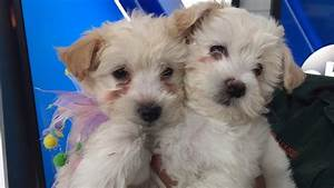 Pet of the Week: 2 Cocker Spaniel and poodle mix puppies ...