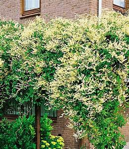 Kletterpflanzen Mehrjährig Winterhart : kn terich kletterpflanzen bei baldur garten ~ Michelbontemps.com Haus und Dekorationen