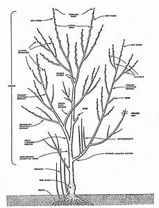 Tree Pruning Diagram And Techniques From New Mexico State