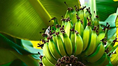 A collection of the top 48 banana fish wallpapers and backgrounds available for download for free. Green Bananas In Tree HD Banana Wallpapers   HD Wallpapers   ID #52424