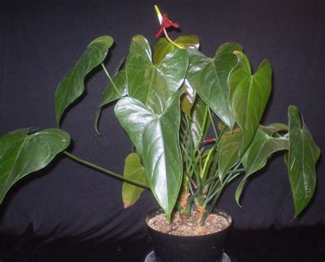big leaf house plants plants are the strangest people list houseplants with large broad leaves