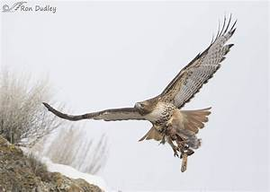 Red-tailed Hawk In Flight With Prey « Feathered Photography