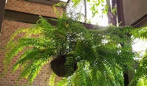 Fougère Pteris Cretica : quelles plantes mettre dans la cuisine et la salle de bain les foug res dans les pi ces ~ Melissatoandfro.com Idées de Décoration
