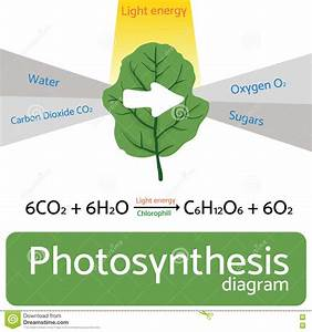 Photosynthesis Diagram  Schematic Vector Illustration Of