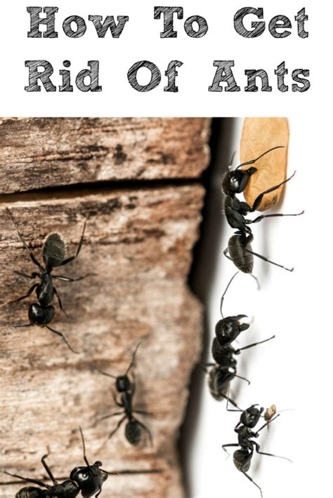 getting rid of ants how to get rid of ants in your home penny pincher jenny