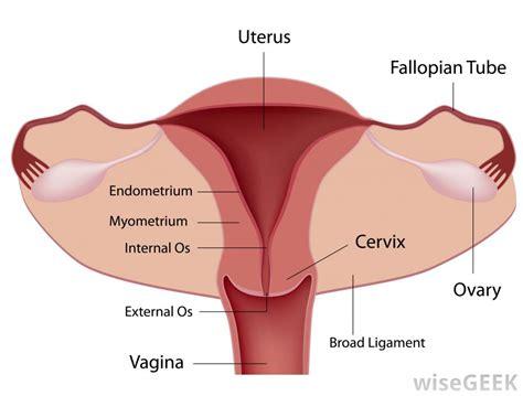 diagrams  female reproductive system printable diagram