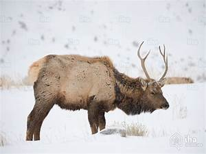 Yellowstone National Park Rentals For Your Vacations With Iha