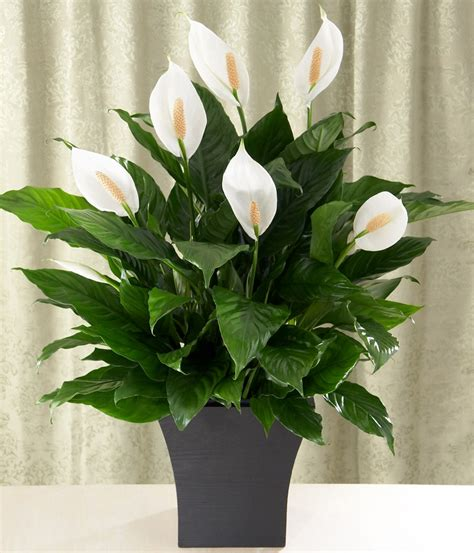 indoor lilies plants for every room in your home extra comfort and health