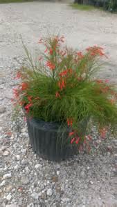 Purple Firecracker Plant
