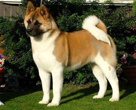 do american akitas shed japanese akita breeders breed clubs and rescue