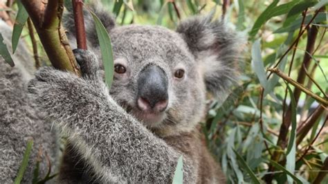 australian animals  koala tourism australia