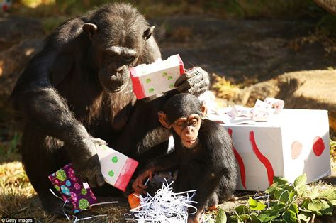 sydney s taronga zoo celebrate christmas early with