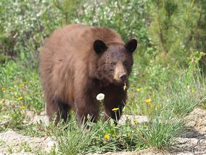 Bear Grizzly Wiki Hey Anna Facts Legend