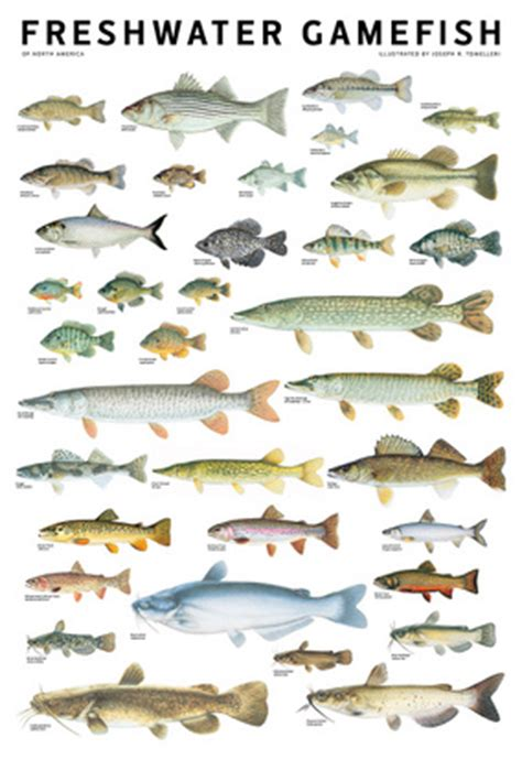 freshwater gamefish  north america poster independent
