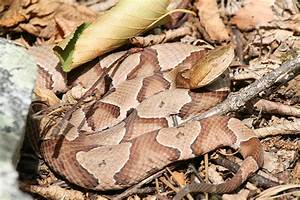 northern copperhead | Flickr - Photo Sharing!