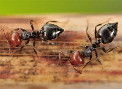 ant service ant identification from thomas pest services