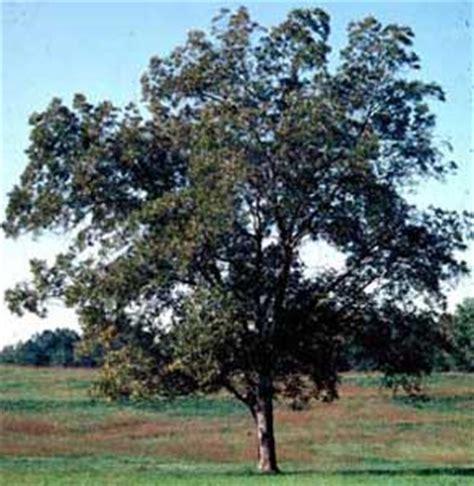 pecan carya illinoinensis