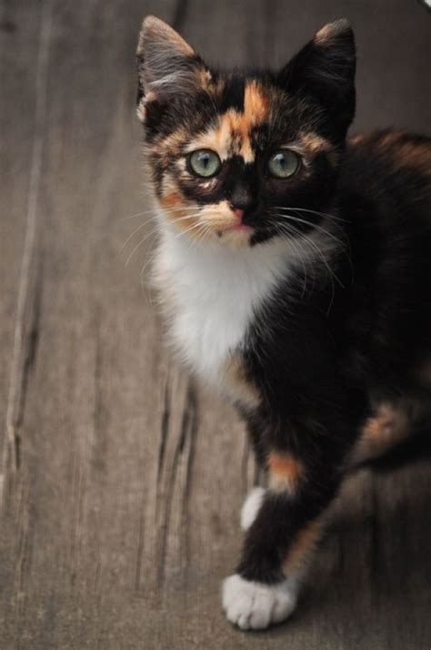 calico cats cat kittens kitten kitty pretty tortie cute tortoiseshell she baby beauty adorable chat neko katze animals cool funny