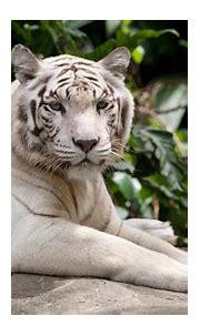 White Tiger UHD 4K Wallpaper   Pixelz