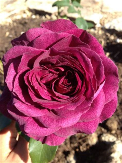 best smelling roses march snowfall picture of mandala gardens marion tripadvisor