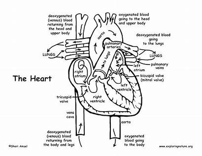 Anatomy Coloring Heart Physiology Pages Sheets Anatomical