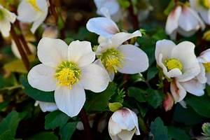 Pflanzenlexikon Mit Bild : christrosen pflanzen schneiden der richtige standort sch ner wohnen ~ Orissabook.com Haus und Dekorationen