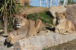 Billet Zoo De Beauval Leclerc : la terre des lions nouveaut 2017 zooparc de beauval ~ Medecine-chirurgie-esthetiques.com Avis de Voitures
