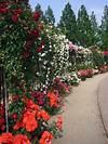 Rose garden - Wikipedia rose garden