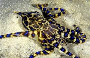 "Blue-ringed Octopus – ""OCEAN TREASURES"" Memorial Library"