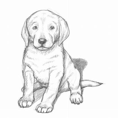 Lab Yellow Puppies Puppy Drawings Coloring Pencil