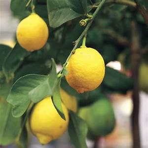 Citrus Eureka Lemon From Jackson  U0026 Perkins