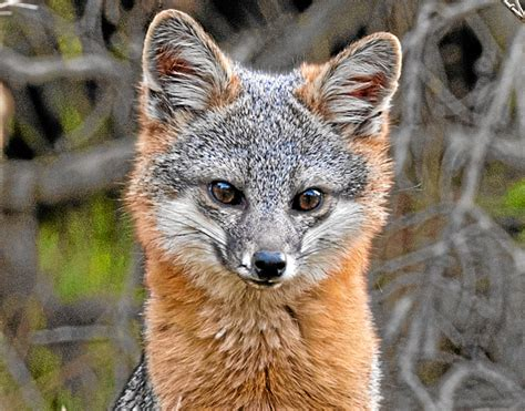 catalina island fox    facing  challenges