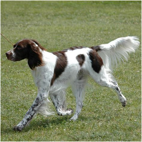 french spaniel puppies puppy dog gallery