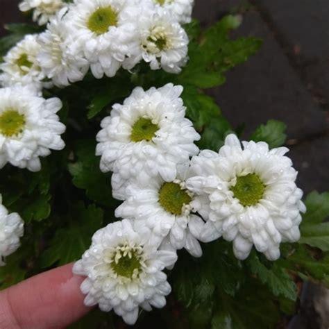 jual tanaman krisan mini white bibitbungacom