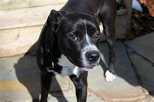 The gallery for --> Black Lab Pitbull Mix Full Grown