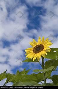 Bild Hochkant Format : sonnenblume hochkant lizenzfreies bild 1422899 bildagentur panthermedia ~ Orissabook.com Haus und Dekorationen