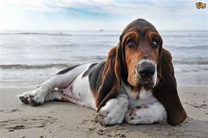 Genetic Disorders Seen in Basset Hounds | Pets4Homes