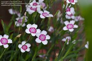 PlantFiles Pictures: Dianthus, Maiden Pinks 'Arctic Fire ...