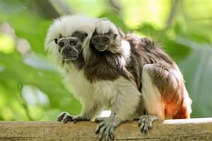 Cotton-topped Tamarin | Perth Zoo