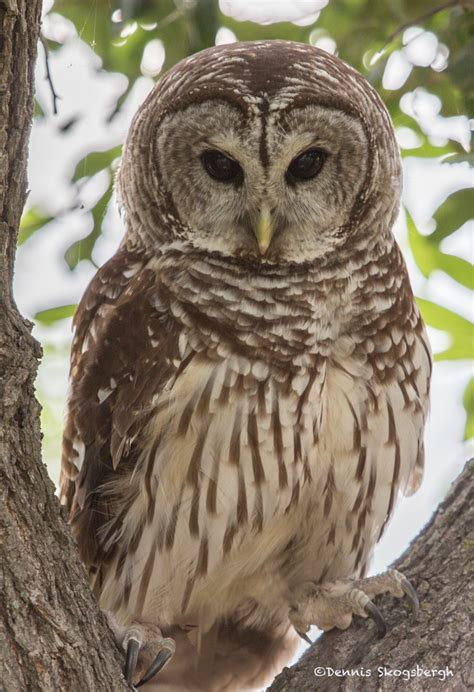 spotted owl call download