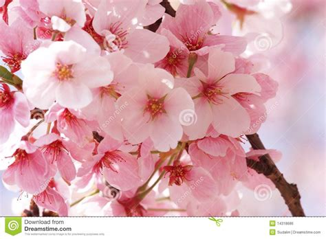 flower sakura stock photo image  japan blooming