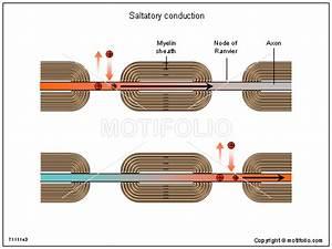 Saltatory Conduction Illustrations