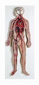 3b Scientific Circulatory System Model