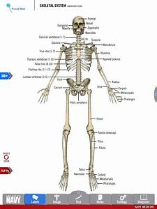 Diagram Of The Skeletal System From The Free Anatomy Study Guide App By America U2019s Navy  Includes